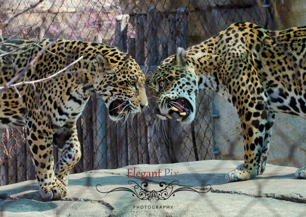 Spotted Jaguars